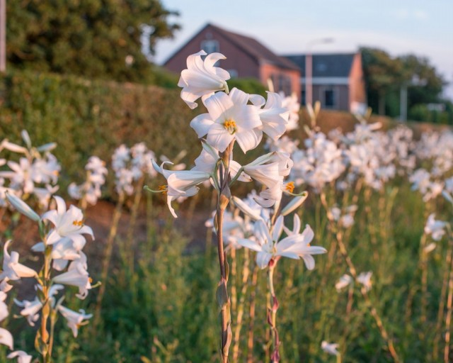 И лилия белоснежная, и ее гибриды - растения не устойчивые к заболеваниям