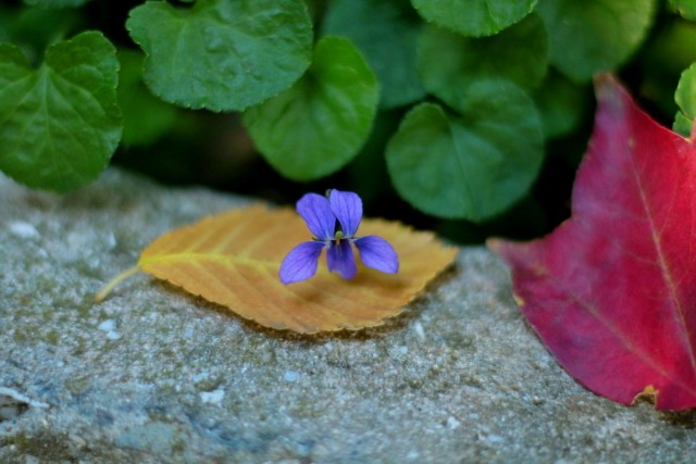 Осенний цветок фиалки лесной