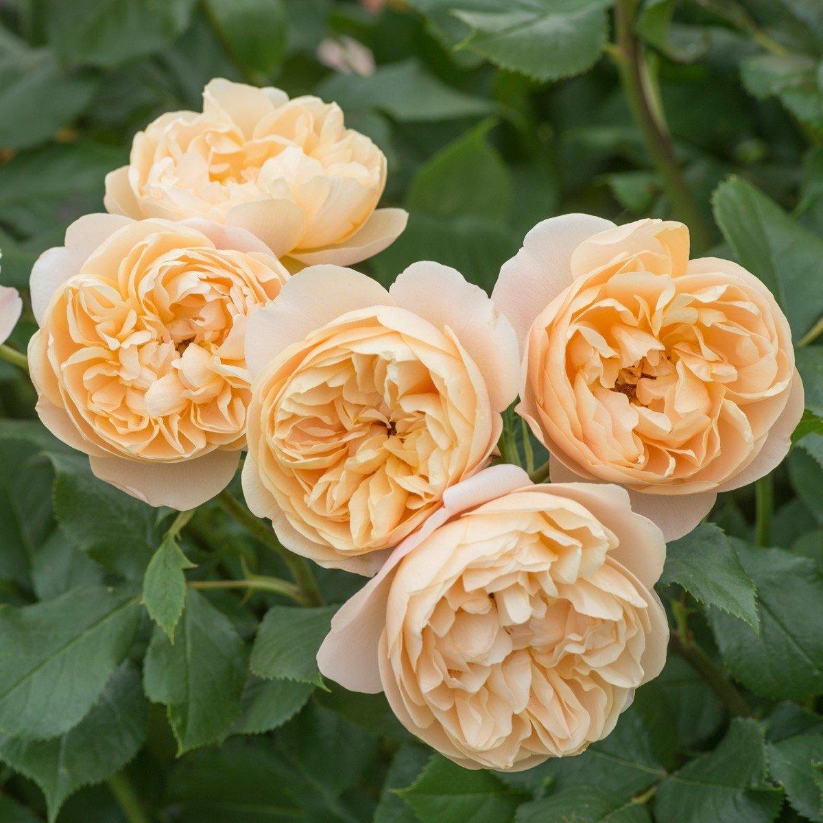 rose-roald-dahl-1
