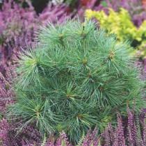 Сосна Веймутова (Pinus strobus) «Радиата»