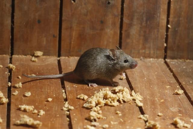 Мыши и крысы в доме и хозяйстве приносят множество проблем