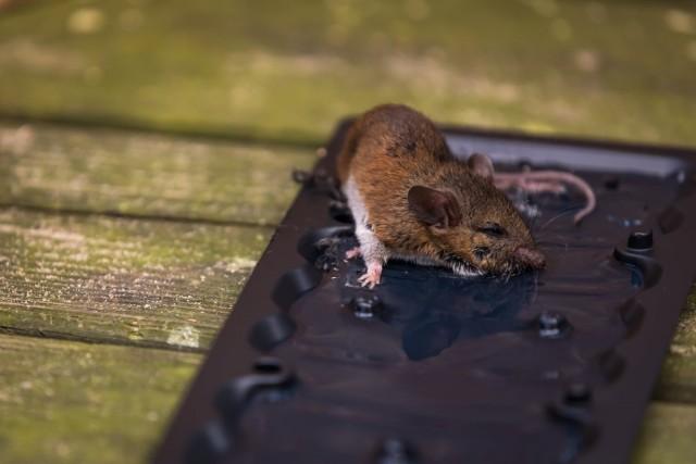 Клеевая ловушка от крыс и мышей в действии