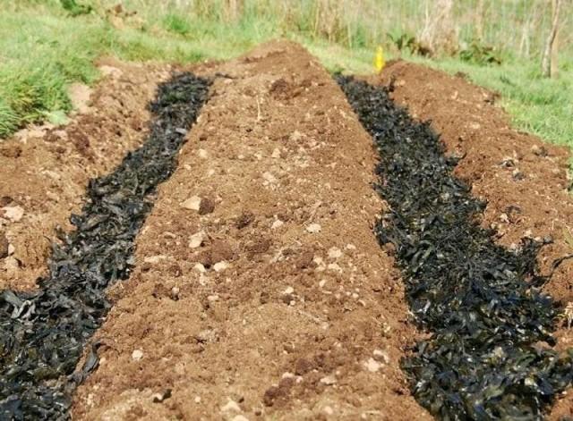 Подготовка к посадке картошки в траншеи начинается ещё с осени