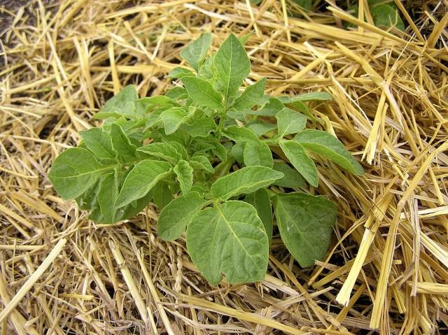 Можно высаживать картофель под солому даже по целине, без предварительной обработки грунта