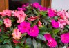Выращиваем бальзамин в комнате — лучшие сорта, уход, зимовка