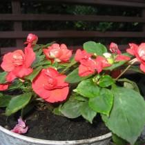 Бальзамин Athena Red
