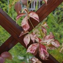 Девичий виноград «Звездопад» (Star Showers) осенью