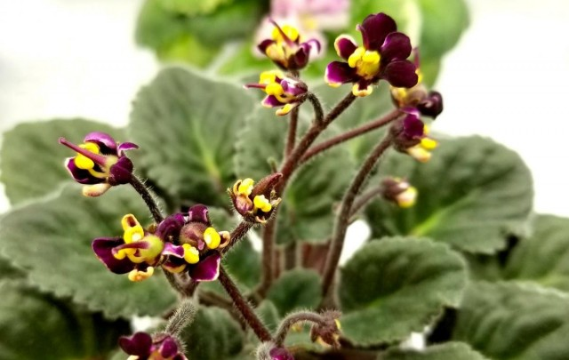 Сенполия «Ботаника» (Botanica)