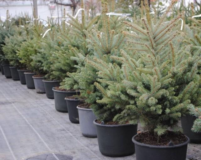 Покупать саженец хвойного растения в контейнере нужно или в специализированных магазинах, или в питомниках