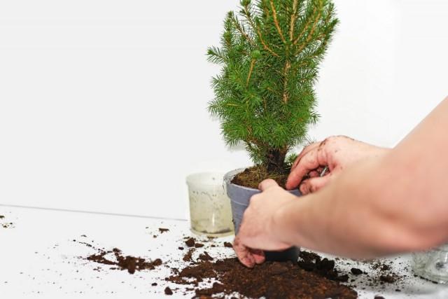 Купленное хвойное растение в качестве новогодней ёлки нужно сразу пересадить