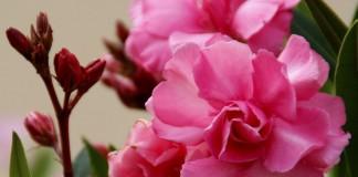 Олеандр — особенности выращивания в комнатных условиях
