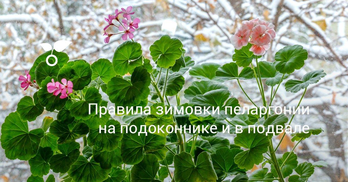 Уход за геранью зимой в домашних условиях: почему пеларгония сохнет в квартире? Как заставить ее цвести? Что делать, если она погибает?