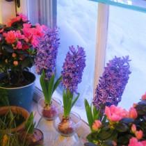 В прохладном помещении гиацинты могут цвести целый месяц