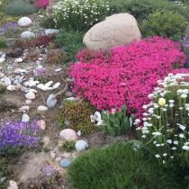 Флокс шиловидный в дизайне сада