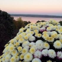 Хризантема на закате