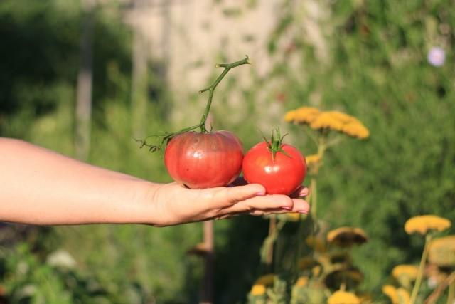 Сорт томатов «Карбон», или «Углерод»