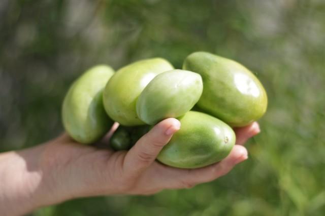 Сорт томатов «Зеленый Чили»