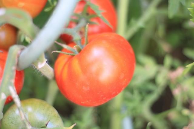 Сорт томатов «Голубая ель»
