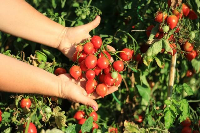 Сорт томатов «Поцелуй герани»