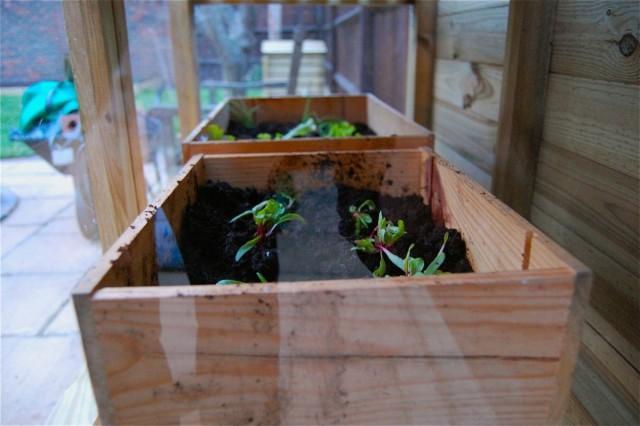 В ящиках размещается большое количество сеянцев, по мере их роста можно выбраковывать слабые