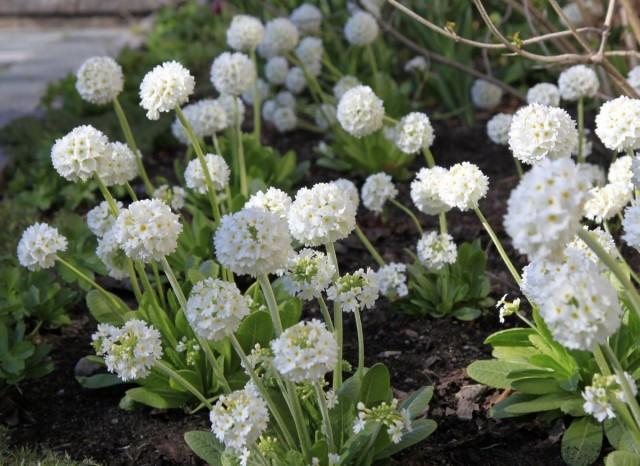 Примула мелкозубчатая (Primula denticulata) «Альба»