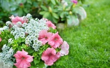 10 самых надёжных однолетних цветов для вашего сада