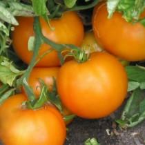 Томат «Апельсин»