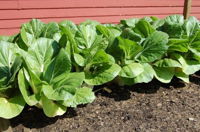 Пак-Чой - разновидность капусты менее привередлива к условиям выращивания