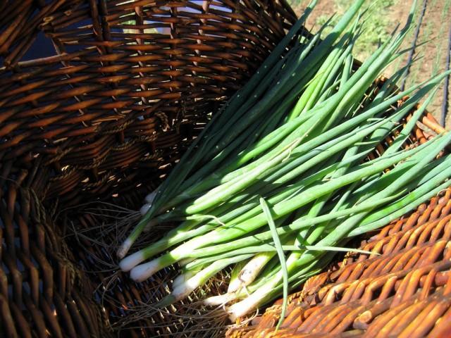 По-настоящему нежные тонкие перышки лука можно получить, выращивая молодые растения из семян