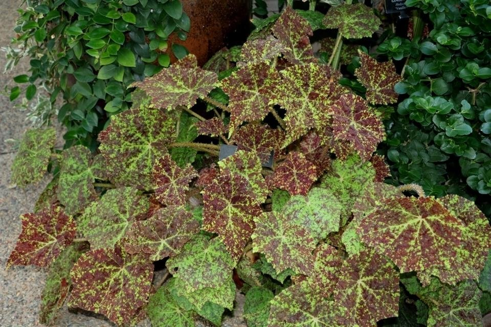 begonia-marmaduke-2_1