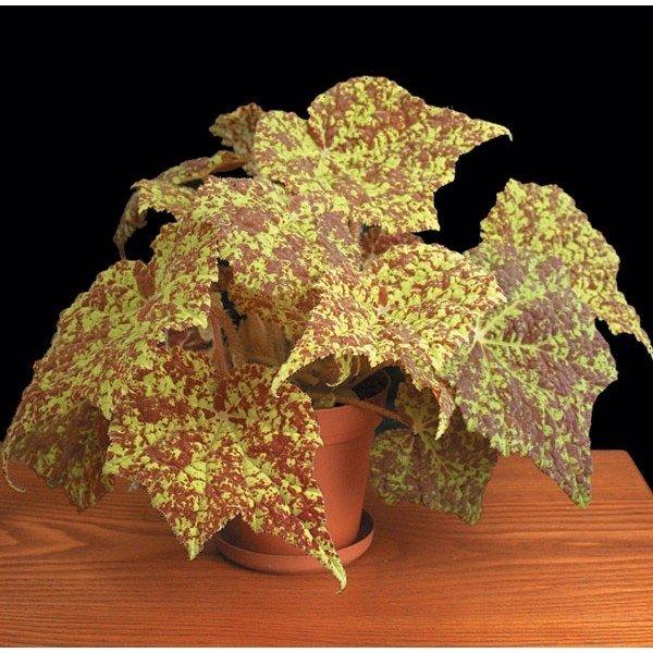 begonia-marmaduke-3_1