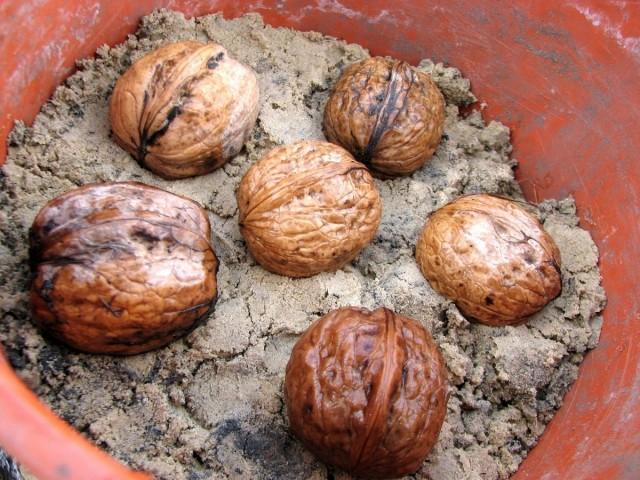 Стратификация грецких орехов