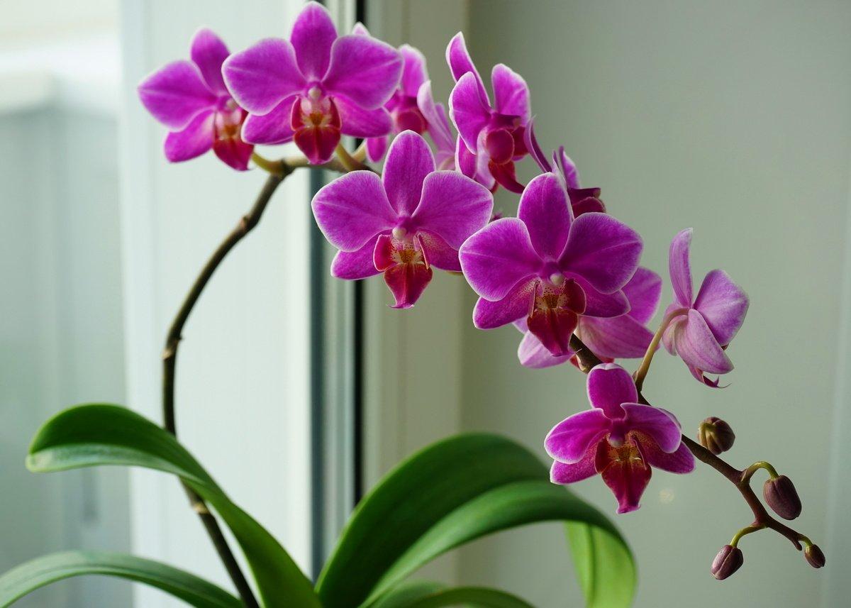 картинки комнатная орхидея подобного