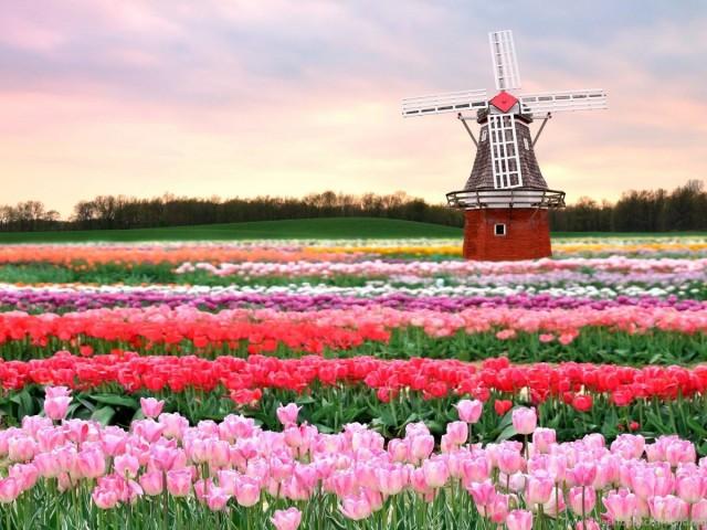 Кёкенхоф - это более семи миллионов цветущих растений