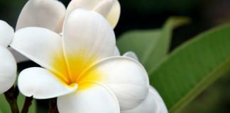 Плюмерия — самая ароматная среди красивоцветущих