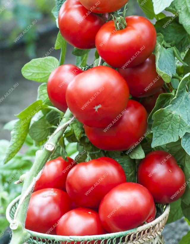 Чудо – помидорище! Именно так отзываются об индетерминантном гибриде «Биф кинг F1» те, кто его выращивал