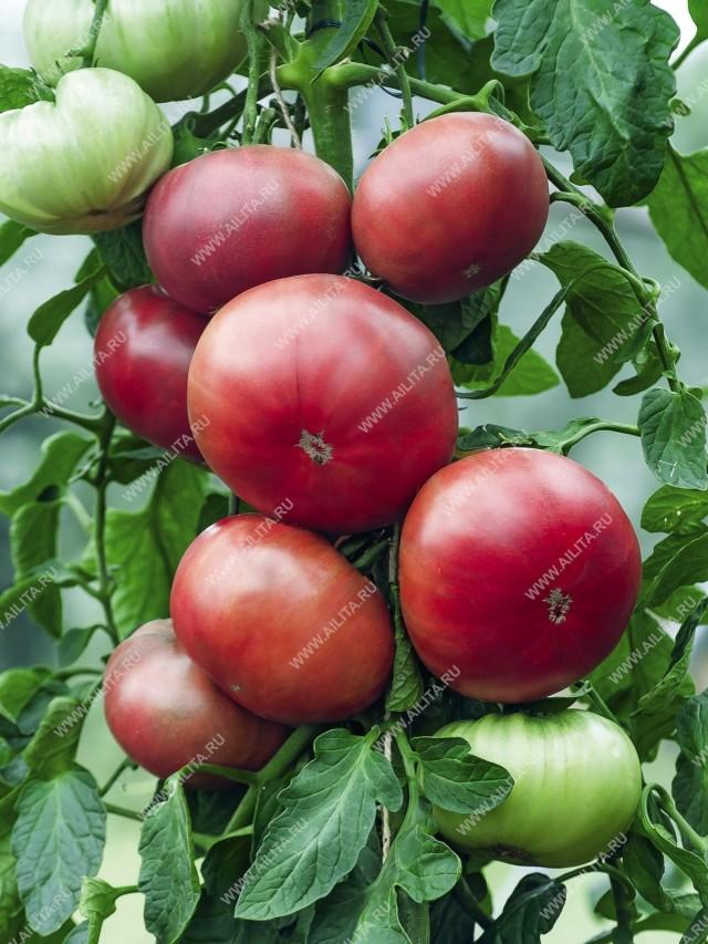 Урожайность сорта «Смуглянка» высокая: под пленочными укрытиями с квадратного метра грядки можно получить до 7-7,5 кг плодов