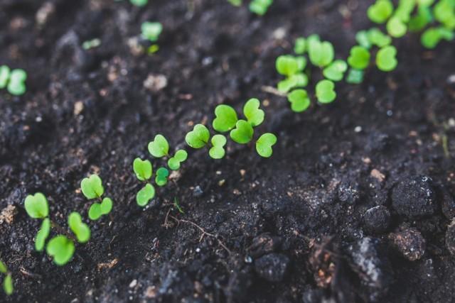 При слишком густых посевах сеянцы всходят близко друг к другу и между ними начинается конкуренция за питание и свет