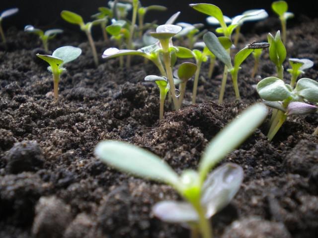 Минеральные комплексные удобрения - отличное средство для подкормок рассады