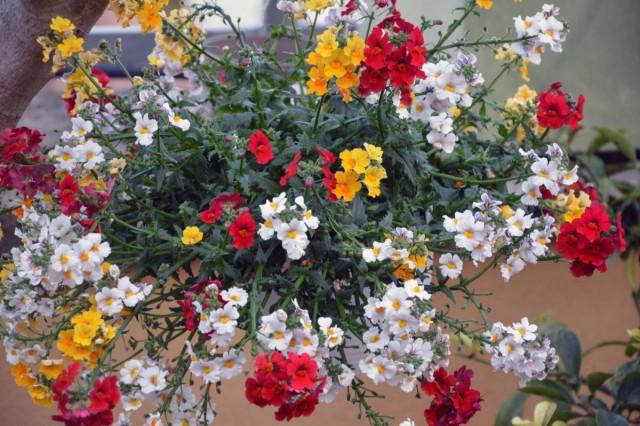 Немезию лазоревую чаще всего используют как ампельное растение