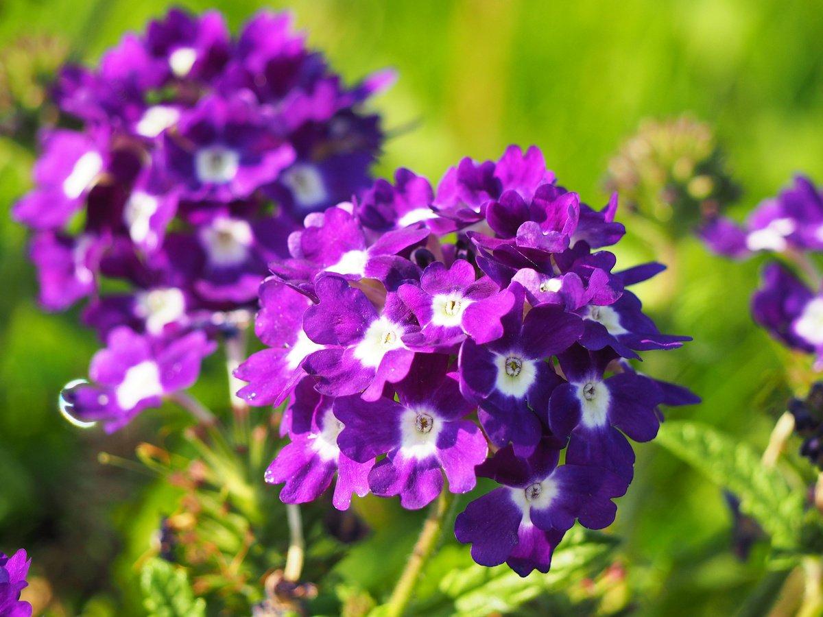 Картинки цветок вербена
