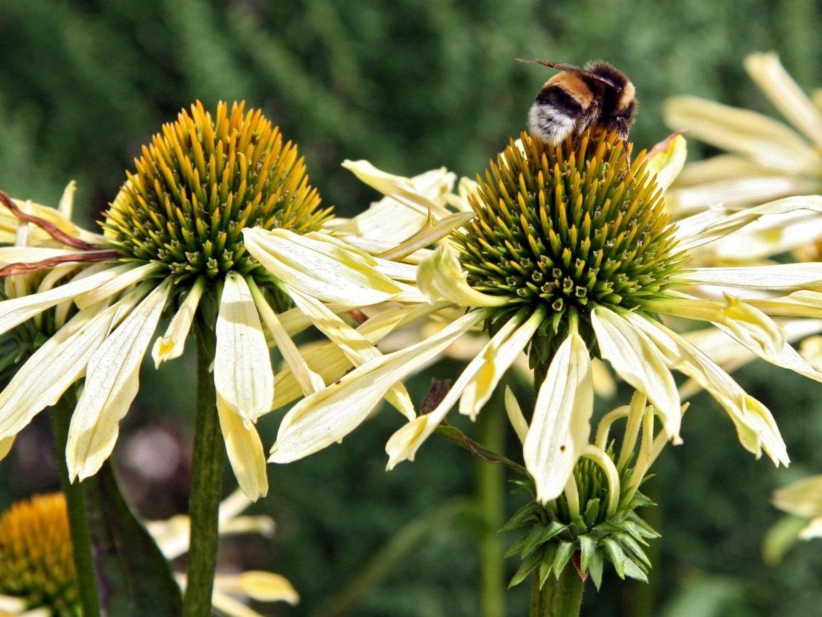 Echinacea2_1