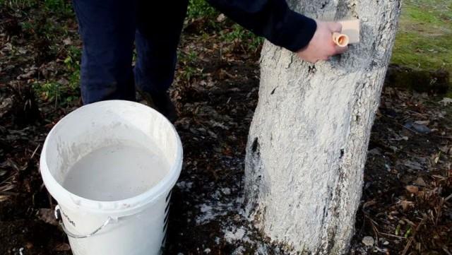 Побелка помогает сгладить контраст дневных и ночных температур, сделать его менее болезненным для деревьев