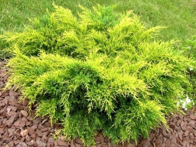 Можжевельник средний (Juniperus media) Old Gold