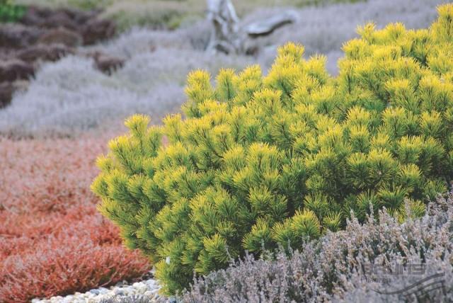 Сосна горная (Pinus mugo) Carstens Wintergold