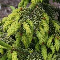 Ель сербская (Picea omorika) сорта Aurea
