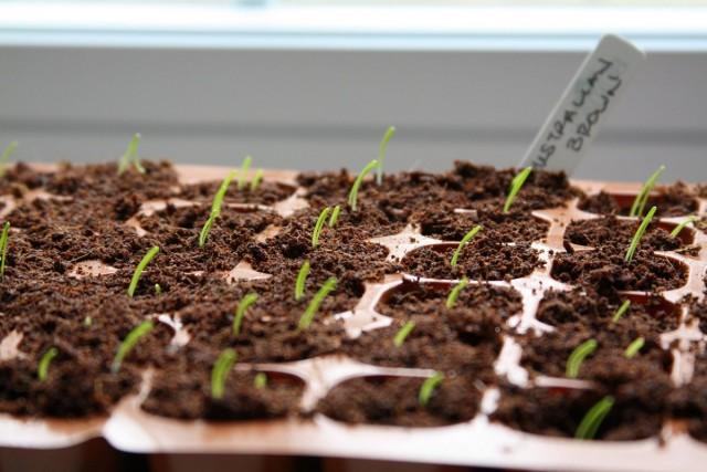 При выращивании через рассаду, период роста и развития лука в открытом грунте сокращается в среднем на 2 месяца