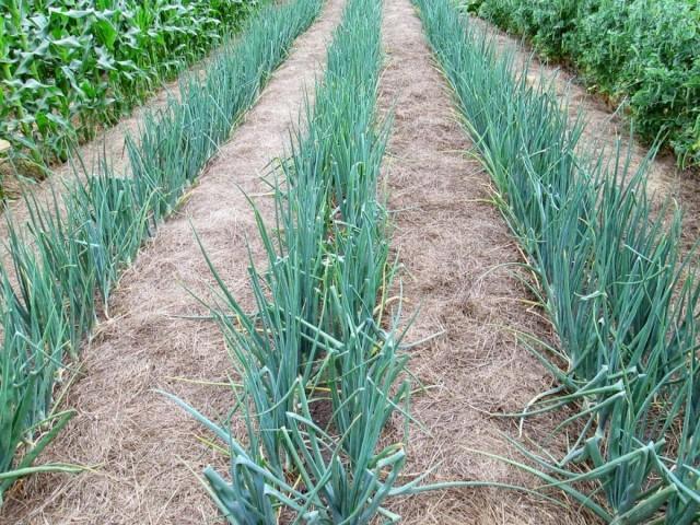 После посадки рассады лука почву мульчируют любой мелкой мульчей