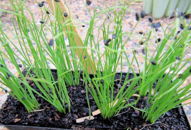В течение роста и развития рассады лука полив проводят каждые 2-3 дня умеренной нормой