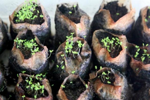 Всходы однолетних цветов в использованных чайных пакетиках, подготовленных для использования под рассаду